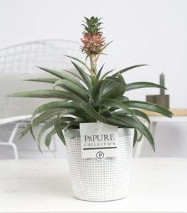 Ananas Mi Amigo kamerplant in sierpot Pure Clay grey 3