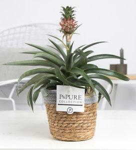 Ananas Mi Amigo kamerplant in sierpot Pure Basket 5