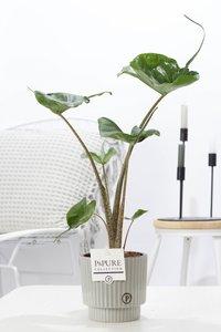 Alocasia Stingray kamerplant in sierpot Ivy ceramics green grey