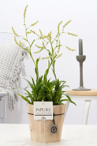 Catopsis Morreniana kamerplant in sierpot Pure Wood 5