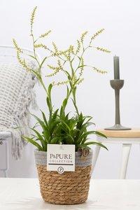 Catopsis Morreniana kamerplant in sierpot Pure Basket 5
